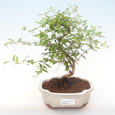 Pokojová bonsai-PUNICA granatum nana-Granátové jablko PB220477 - 1