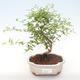 Pokojová bonsai-PUNICA granatum nana-Granátové jablko PB220477 - 1/3
