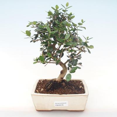 Pokojová bonsai - Olea europaea sylvestris -Oliva evropská drobnolistá PB220478 - 1