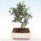 Pokojová bonsai - Olea europaea sylvestris -Oliva evropská drobnolistá PB220478 - 1/5