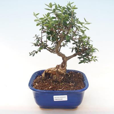Pokojová bonsai - Olea europaea sylvestris -Oliva evropská drobnolistá PB220480 - 1