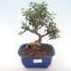 Pokojová bonsai - Olea europaea sylvestris -Oliva evropská drobnolistá PB220480 - 1/5