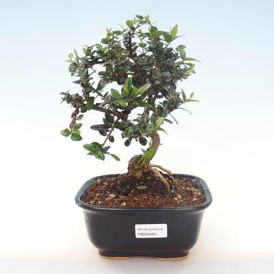 Pokojová bonsai - Olea europaea sylvestris -Oliva evropská drobnolistá PB220483 - 1