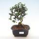 Pokojová bonsai - Olea europaea sylvestris -Oliva evropská drobnolistá PB220483 - 1/5