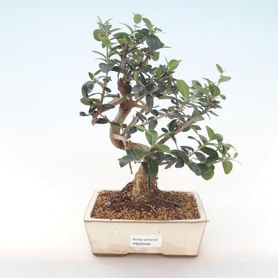 Pokojová bonsai - Olea europaea sylvestris -Oliva evropská drobnolistá PB220485 - 1