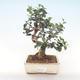 Pokojová bonsai - Olea europaea sylvestris -Oliva evropská drobnolistá PB220485 - 1/5