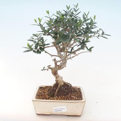 Pokojová bonsai - Olea europaea sylvestris -Oliva evropská drobnolistá PB220487 - 1