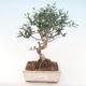 Pokojová bonsai - Olea europaea sylvestris -Oliva evropská drobnolistá PB220487 - 1/5