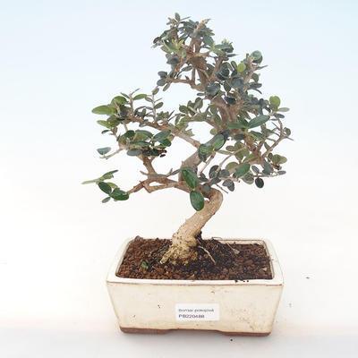 Pokojová bonsai - Olea europaea sylvestris -Oliva evropská drobnolistá PB220488 - 1