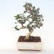Pokojová bonsai - Olea europaea sylvestris -Oliva evropská drobnolistá PB220488 - 1/5