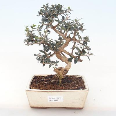 Pokojová bonsai - Olea europaea sylvestris -Oliva evropská drobnolistá PB220490 - 1