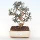 Pokojová bonsai - Olea europaea sylvestris -Oliva evropská drobnolistá PB220490 - 1/5