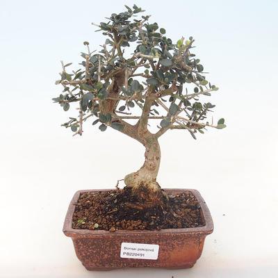 Pokojová bonsai - Olea europaea sylvestris -Oliva evropská drobnolistá PB220491 - 1