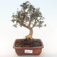 Pokojová bonsai - Olea europaea sylvestris -Oliva evropská drobnolistá PB220491 - 1/5