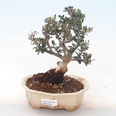 Pokojová bonsai - Olea europaea sylvestris -Oliva evropská drobnolistá PB220494 - 1