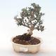 Pokojová bonsai - Olea europaea sylvestris -Oliva evropská drobnolistá PB220494 - 1/5