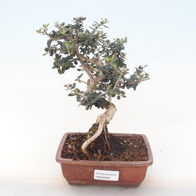 Pokojová bonsai - Olea europaea sylvestris -Oliva evropská drobnolistá PB220495 - 1