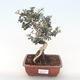 Pokojová bonsai - Olea europaea sylvestris -Oliva evropská drobnolistá PB220495 - 1/5
