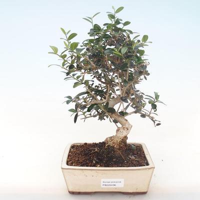 Pokojová bonsai - Olea europaea sylvestris -Oliva evropská drobnolistá PB220496 - 1