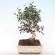 Pokojová bonsai - Olea europaea sylvestris -Oliva evropská drobnolistá PB220496 - 1/5