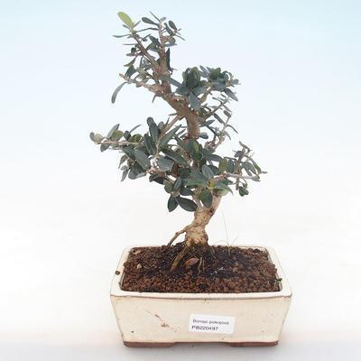 Pokojová bonsai - Olea europaea sylvestris -Oliva evropská drobnolistá PB220497 - 1