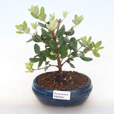 Pokojová bonsai - Metrosideros excelsa - Železnatec ztepilý PB220501 - 1