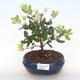 Pokojová bonsai - Metrosideros excelsa - Železnatec ztepilý PB220501 - 1/3