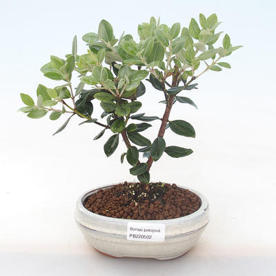 Pokojová bonsai - Metrosideros excelsa - Železnatec ztepilý PB220502 - 1