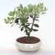 Pokojová bonsai - Metrosideros excelsa - Železnatec ztepilý PB220502 - 1/3