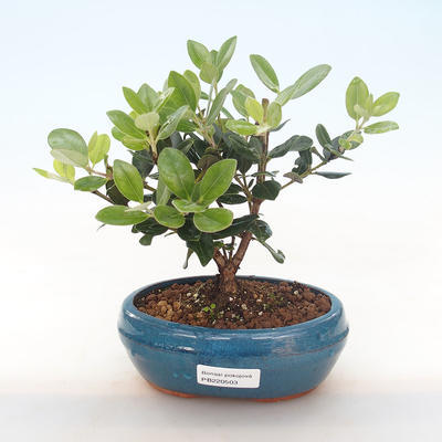 Pokojová bonsai - Metrosideros excelsa - Železnatec ztepilý PB220503 - 1