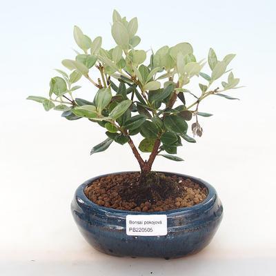 Pokojová bonsai - Metrosideros excelsa - Železnatec ztepilý PB220505 - 1