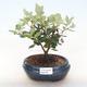 Pokojová bonsai - Metrosideros excelsa - Železnatec ztepilý PB220505 - 1/3