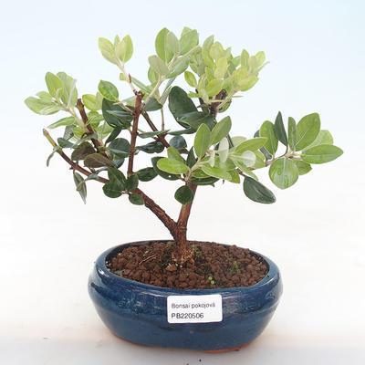 Pokojová bonsai - Metrosideros excelsa - Železnatec ztepilý PB220506 - 1