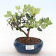 Pokojová bonsai - Metrosideros excelsa - Železnatec ztepilý PB220506 - 1/3