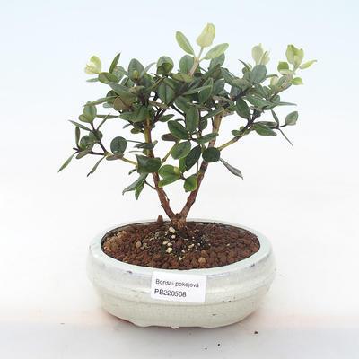 Pokojová bonsai - Metrosideros excelsa - Železnatec ztepilý PB220508 - 1