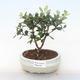 Pokojová bonsai - Metrosideros excelsa - Železnatec ztepilý PB220508 - 1/3