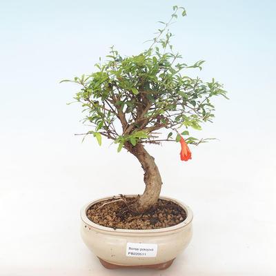 Pokojová bonsai-PUNICA granatum nana-Granátové jablko PB220511 - 1