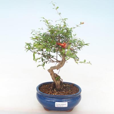 Pokojová bonsai-PUNICA granatum nana-Granátové jablko PB220512 - 1
