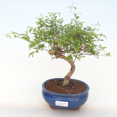 Pokojová bonsai-PUNICA granatum nana-Granátové jablko PB220513 - 1