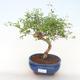 Pokojová bonsai-PUNICA granatum nana-Granátové jablko PB220513 - 1/3