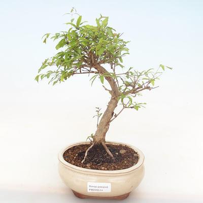 Pokojová bonsai-PUNICA granatum nana-Granátové jablko PB220514 - 1