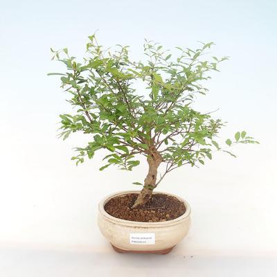 Pokojová bonsai-PUNICA granatum nana-Granátové jablko PB220515 - 1