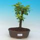 Izbová bonsai - Durant erecta Aurea - 1/3