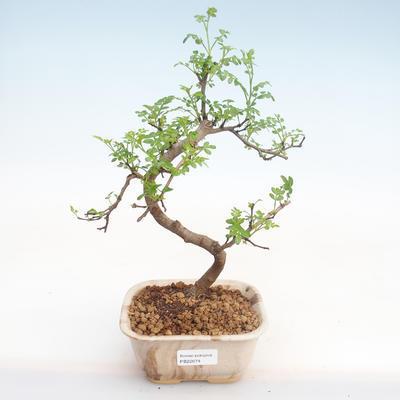 Pokojová bonsai - Zantoxylum piperitum - Pepřovník PB22074 - 1