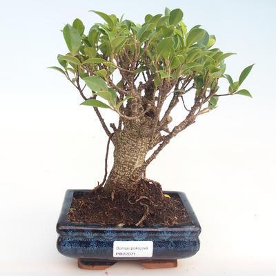 Pokojová bonsai - Ficus retusa -  malolistý fíkus PB22071 - 1