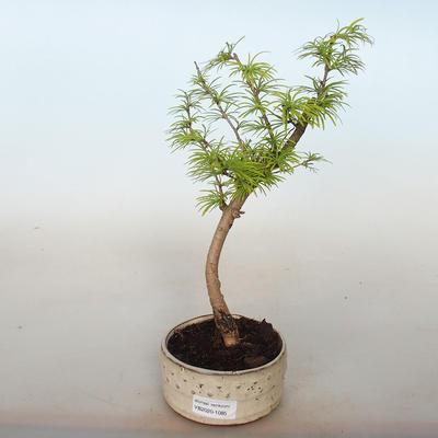 Vonkajší bonsai -Pseudolarix amabis-Pamodřín - 1