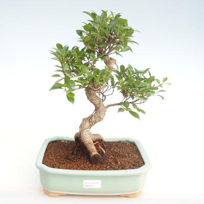 Pokojová bonsai - Ficus retusa -  malolistý fíkus PB22081 - 1