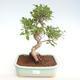 Pokojová bonsai - Ficus retusa -  malolistý fíkus PB22081 - 1/2