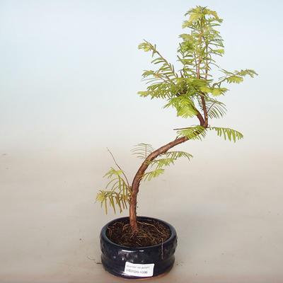 Venkovní bonsai - Metasequoia glyptostroboides - Metasekvoje čínská - 1