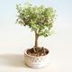 Izbová bonsai - Serissa foetida Variegata - Strom tisíce hviezd - 1/2